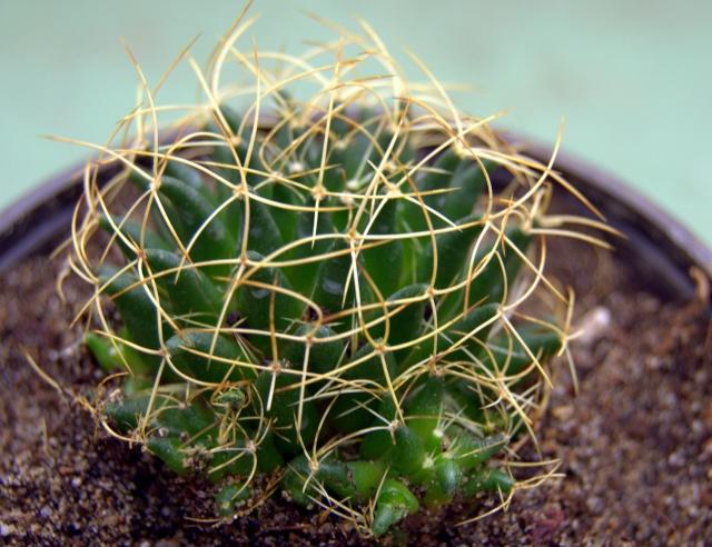 Ferocatus emoryi ou hystrix ? - Cotyledon orbicularis ou Crassula arborescens ssp undulatifolia ? - Mammillaria camptotricha 'Marnier-Lapostolle' (= Dolichothele) Dsc_0015