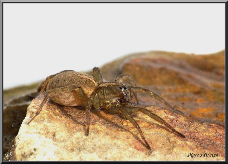 Tiens, Lycosidae encore ... Imgp3112