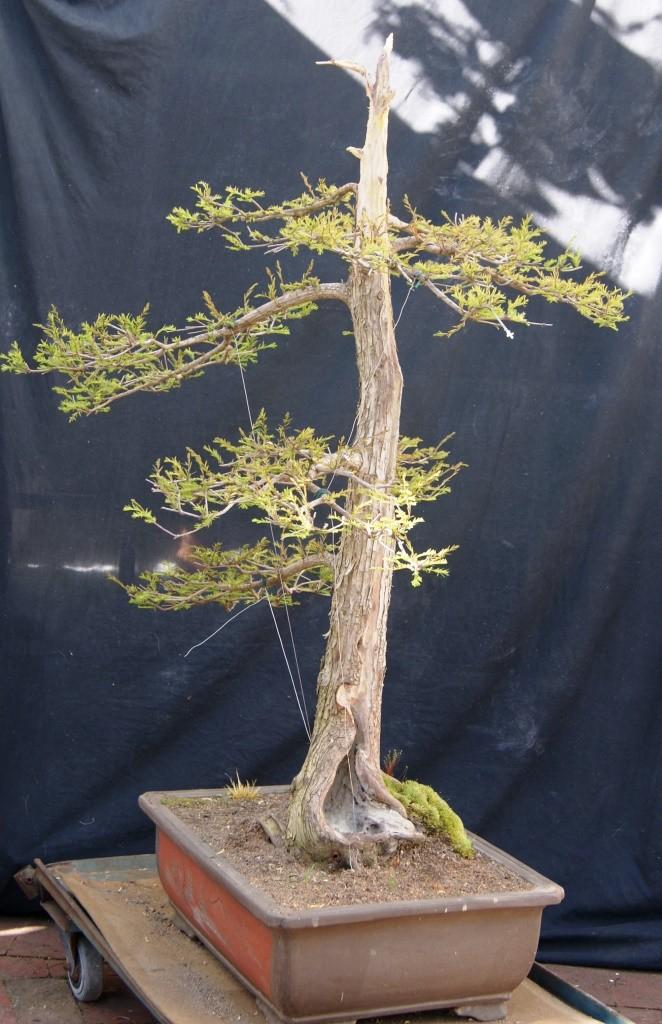 Taxodium distichum 1994 Taxodi10