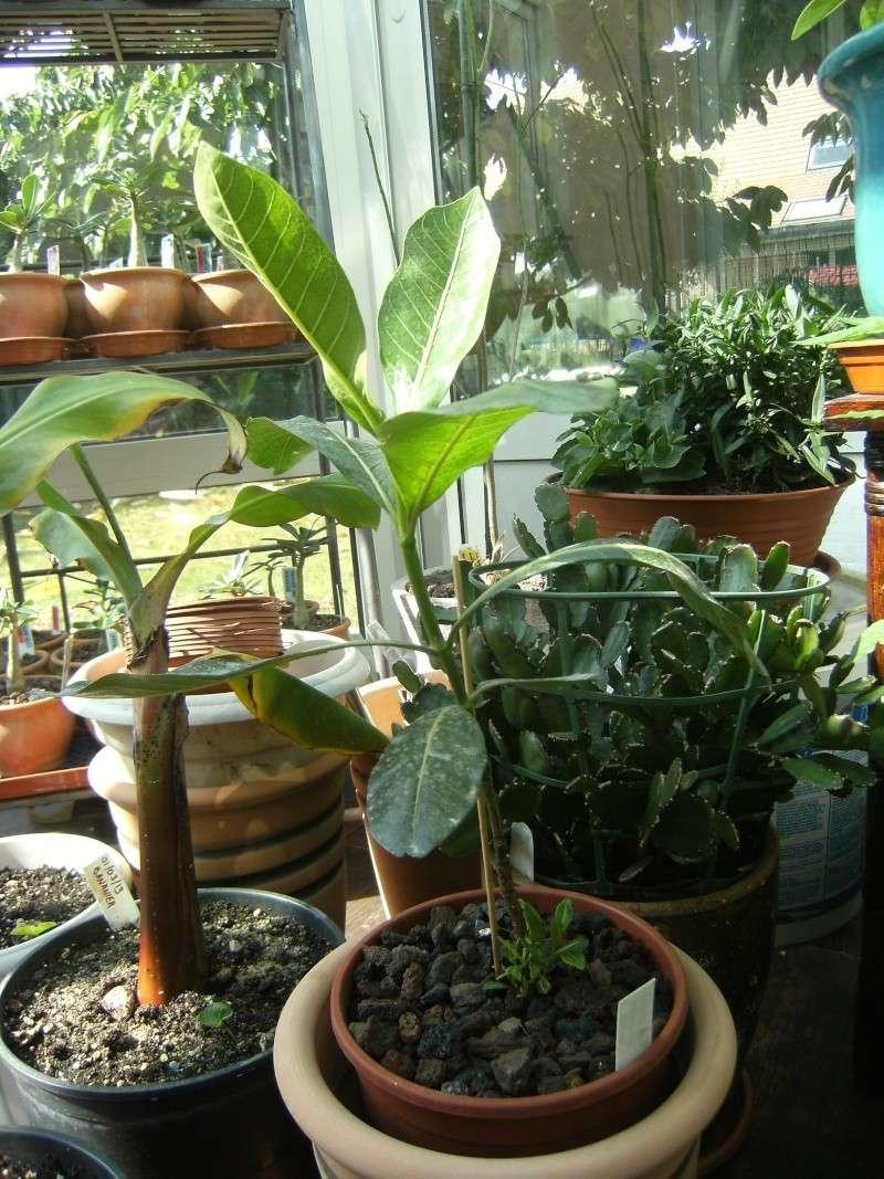 gardenia tahitensis - Page 10 10110