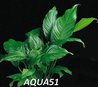 Fiche plante : Anubias Heterophylla Anubia15