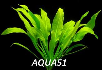 ECHINODORUS - Fiche plante : Echinodorus amazonicus Echino11