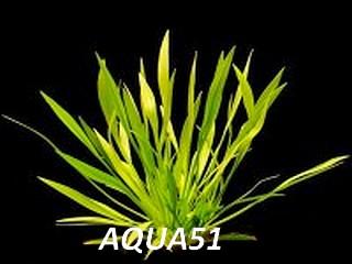 ECHINODORUS - Fiche plante : Echinodorus Angustifolius Echino12