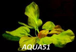ECHINODORUS - Fiche plante : Echinodorus Apart Echino13