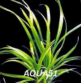 ECHINODORUS - Fiche plante : Echinodorus Bolivianus Echino14
