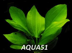 ECHINODORUS - Fiche plante : Echinodorus cordifolius Echino15