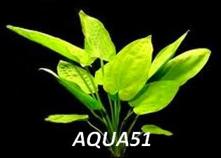 ECHINODORUS - Fiche plante : Echinodorus horizontalis   Echino16