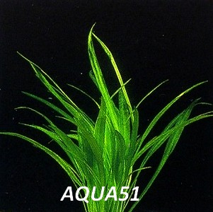 ECHINODORUS - Fiche plante : Echinodorus latifolius  Echino17