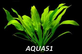 ECHINODORUS - Fiche plante : Echinodorus Parviflorus Echino18