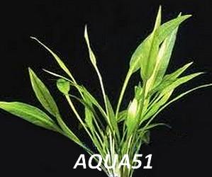 ECHINODORUS - Fiche plante : Echinodorus Quadricostatus var Magdalenensis Echino19