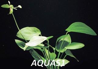 ECHINODORUS - Fiche plante : Echinodorus schlueteri Echino21