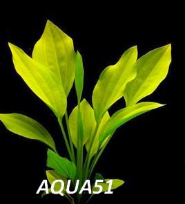 ECHINODORUS - Fiche plante : Echinodorus subalatus Echino22