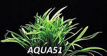 ECHINODORUS - Fiche plante : Echinodorus tenellus  Echino23