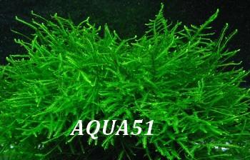 Fiche plante pour terrarium : Vésicularia Dubyana Mousse12