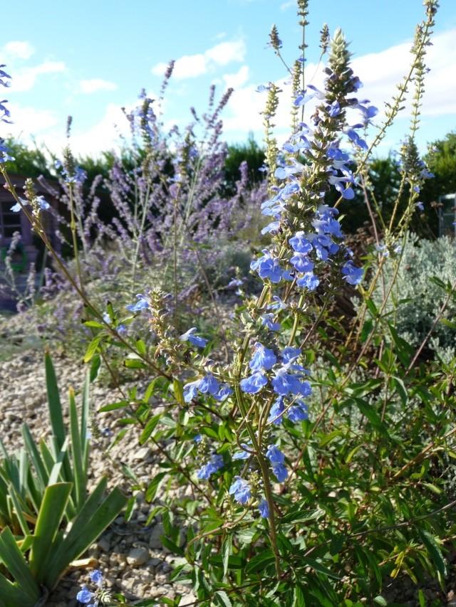 Salvia uliginosa P1210311