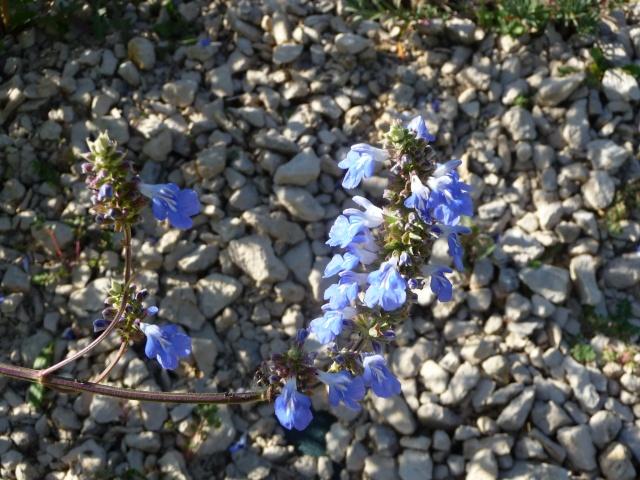 Salvia uliginosa - Page 2 P1210410