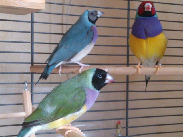 Mes nouveaux pensionnaires à plumes !!! Gould_20