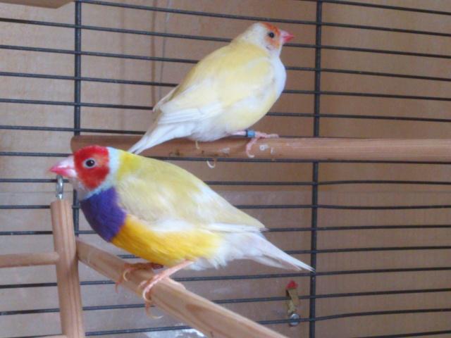 Mes nouveaux pensionnaires à plumes !!! Gould_21