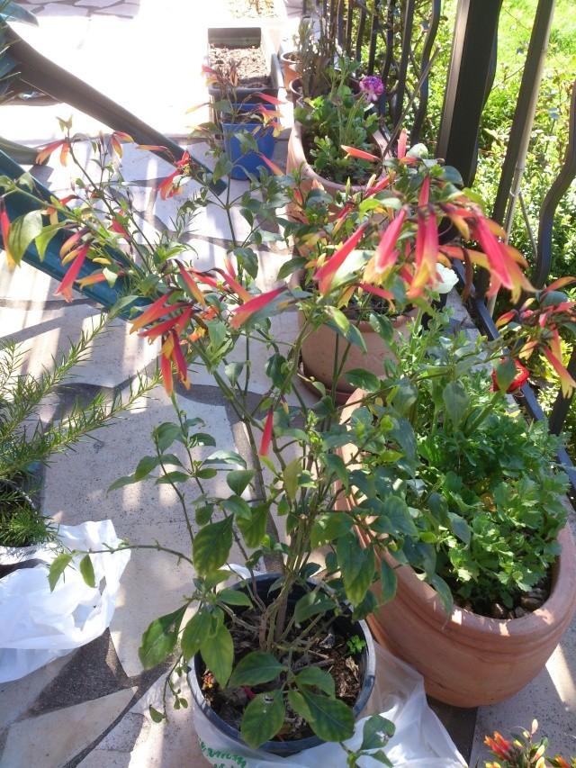 Justicia floribunda (= Justicia pauciflora) Prima137