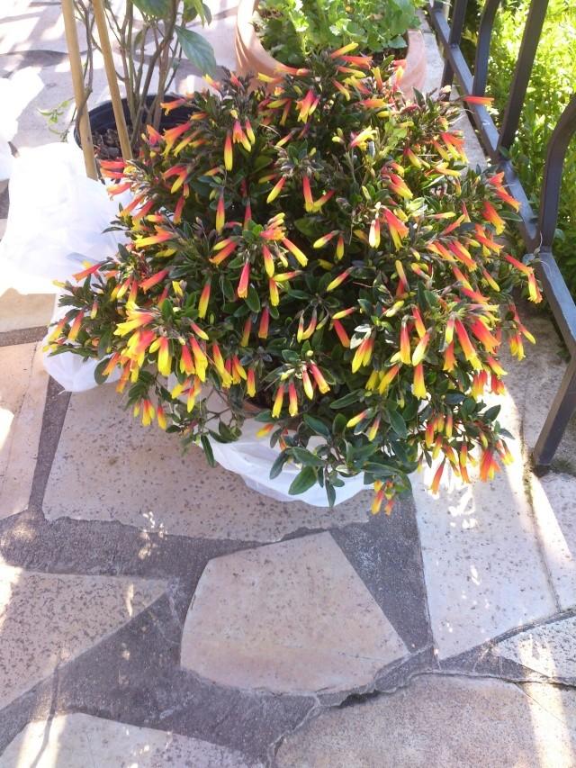 Justicia floribunda (= Justicia pauciflora) Prima138
