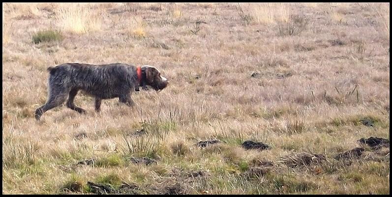 photos de chiens d'arrêt prises a l'arrêt sur gibier  Imgp0510