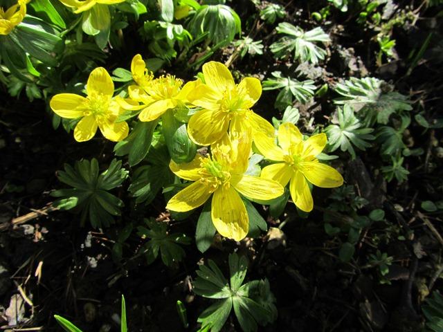 Erste Frühlingsboten im Garten und in Wald und Flur - Seite 2 Img_7317