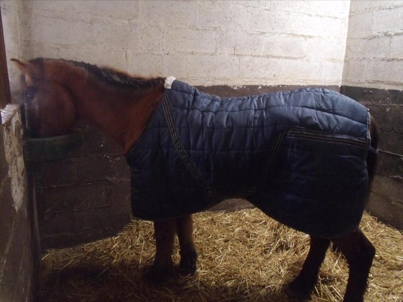 SIEGFRIED - Hongre poney ONC né en 1984 - Protégé GPLV Dscf1010