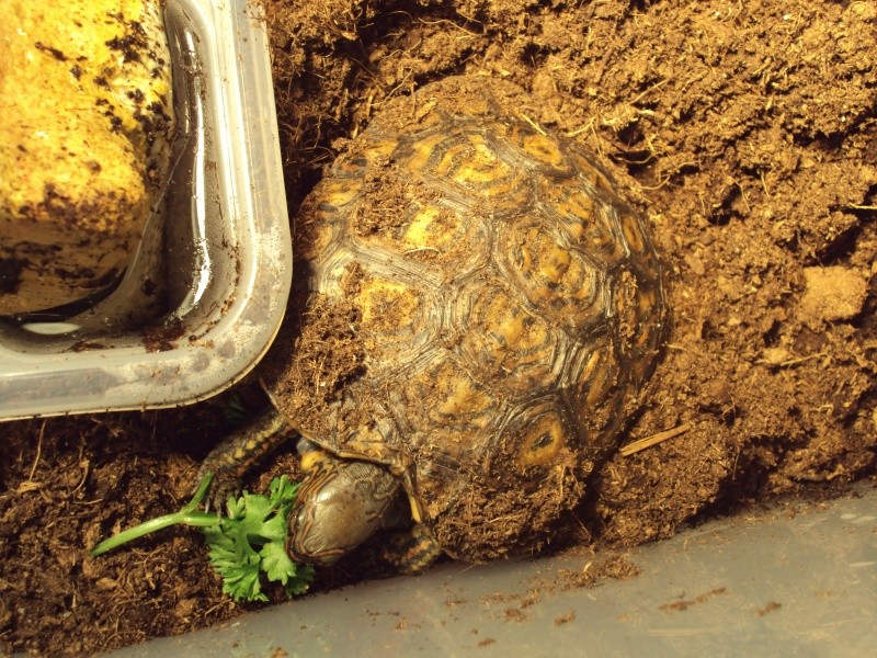 Présentation de ma rhinoclemmys pulcherrima manni Dsc04911