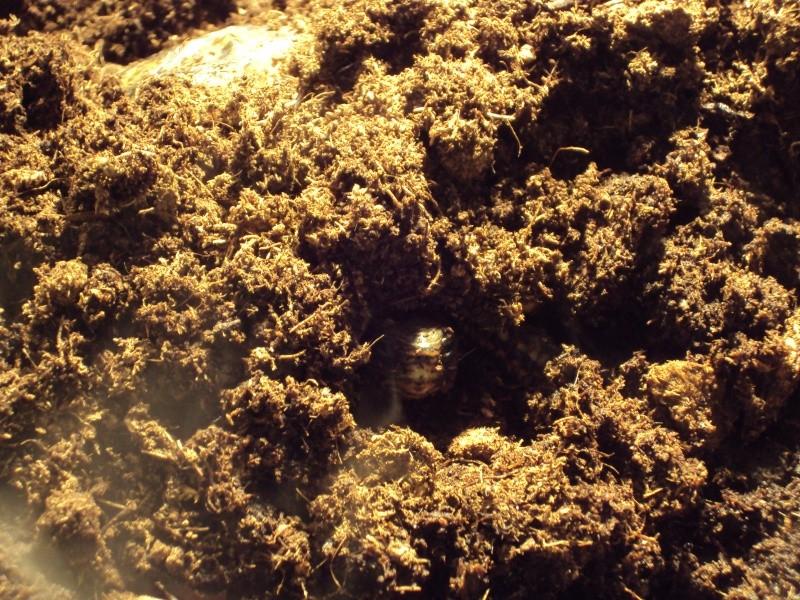 Présentation de ma rhinoclemmys pulcherrima manni Dsc04912