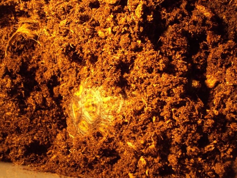 Présentation de ma rhinoclemmys pulcherrima manni Dsc04913