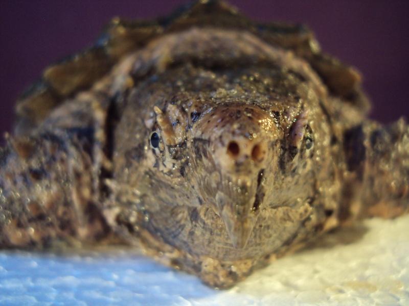 Présentation de ma Macrochelys temminckii (tortue alligator) - Page 2 Dsc04923
