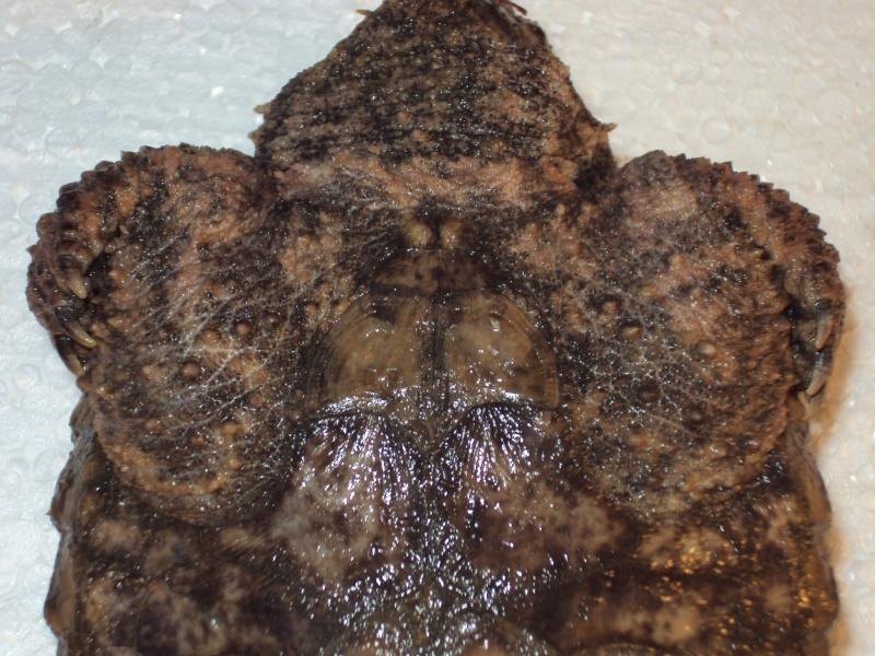Présentation de ma Macrochelys temminckii (tortue alligator) - Page 2 Dsc04925