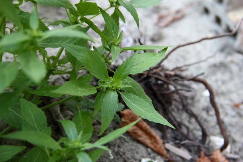 Plante de décombre ( mercuriale ) 02_feu11