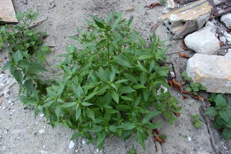 Plante de décombre ( mercuriale ) 02_gen10