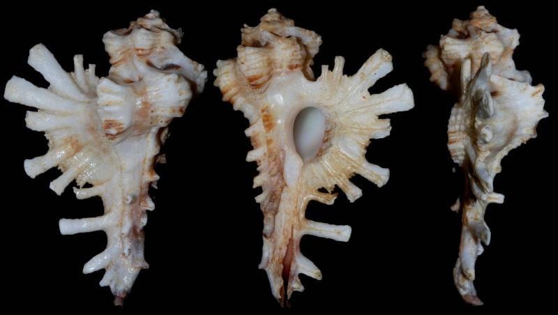 Homalocantha lamberti - (Poirier, 1883) Homalo10