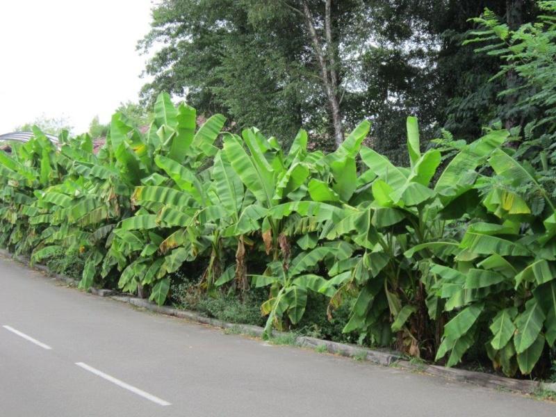 La culture et l'entretien d'un bananier - Page 4 Img_2812