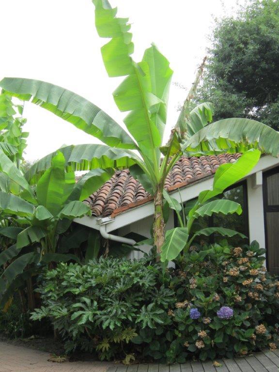 La culture et l'entretien d'un bananier - Page 4 Img_2815