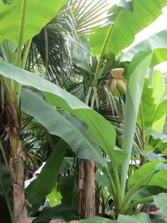 La culture et l'entretien d'un bananier - Page 4 Img_2817