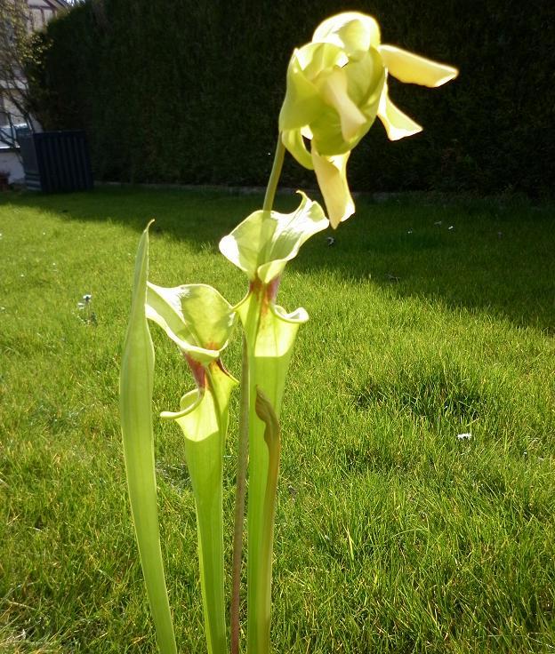 Ma première fleur de carnivore à moi :) 14_avr10