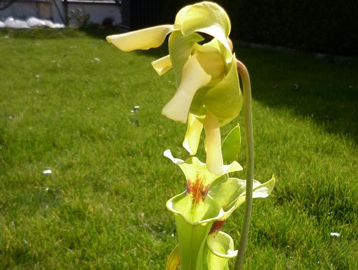 Ma première fleur de carnivore à moi :) 14_avr13