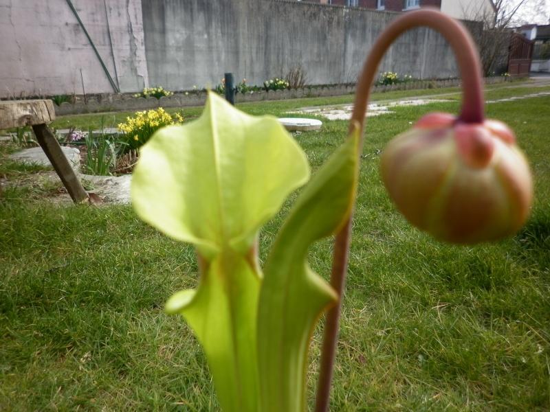 Ma première fleur de carnivore à moi :) P1000612