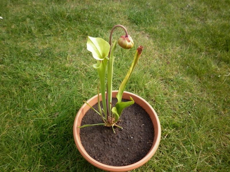 Ma première fleur de carnivore à moi :) P1000613