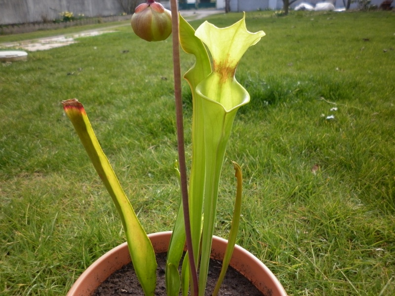 Ma première fleur de carnivore à moi :) P1000615