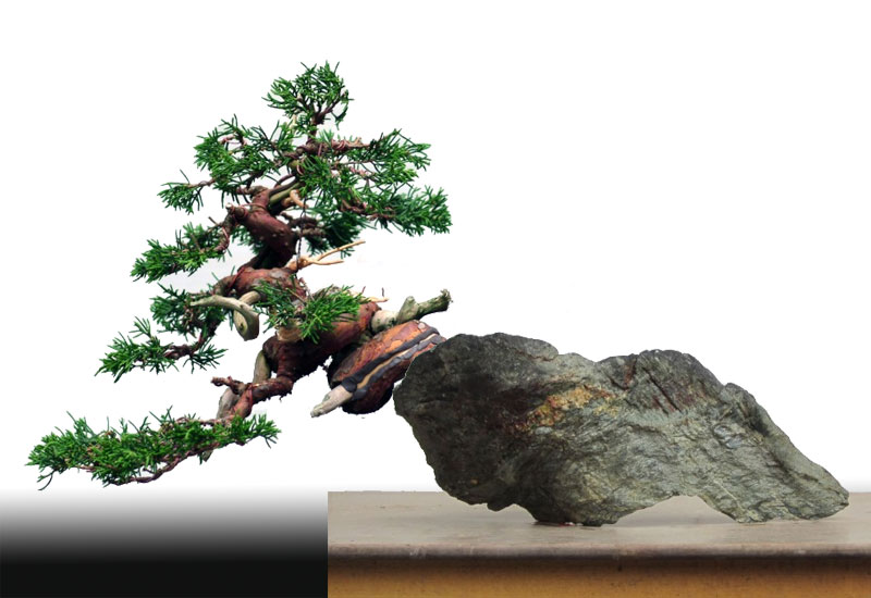 "The ""Corkscrew Juniper"" Challenge: Fiiona10"