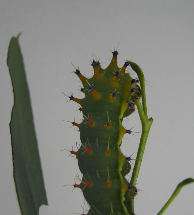 Suivi d'élevage - Emperor Gum-Opodiphthera eucalypti Img_0410