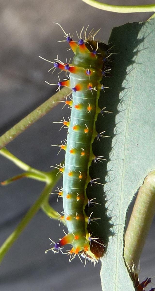 Suivi d'élevage - Emperor Gum-Opodiphthera eucalypti L310