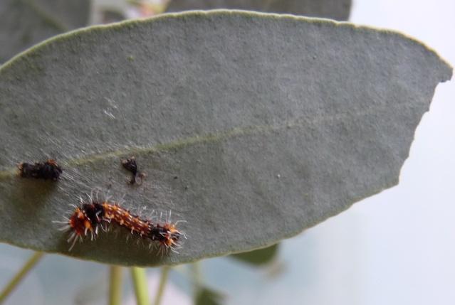 Suivi d'élevage - Emperor Gum-Opodiphthera eucalypti P1050210