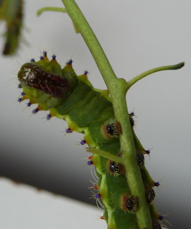 Suivi d'élevage - Emperor Gum-Opodiphthera eucalypti P1050212