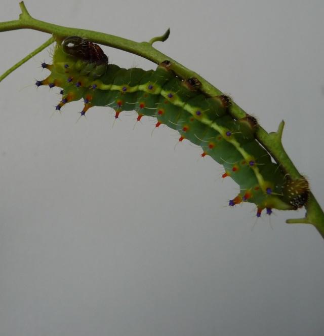 Suivi d'élevage - Emperor Gum-Opodiphthera eucalypti P1050213