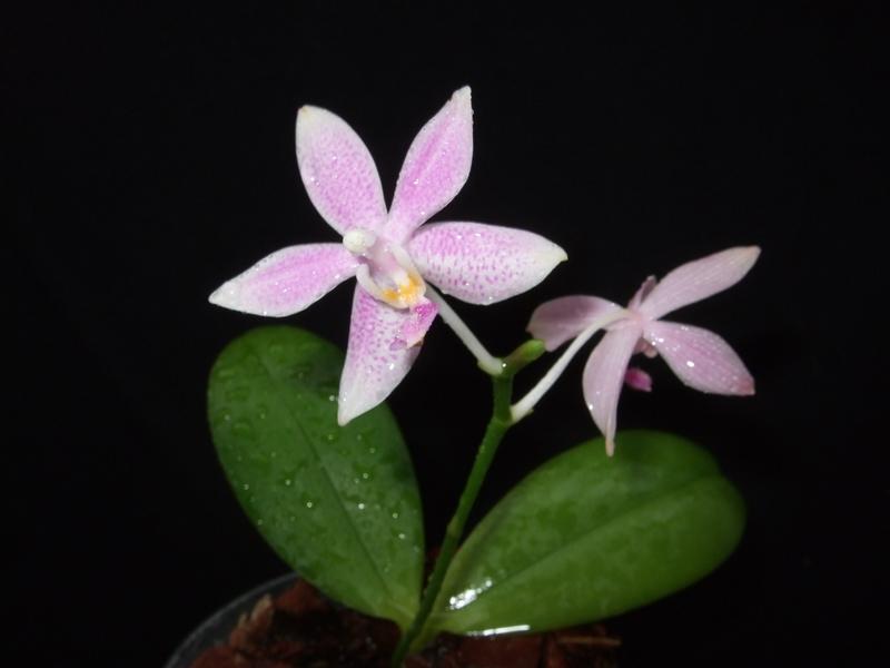 Phalaenopsis violacea - Seite 2 Phalae10